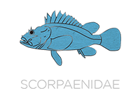 Scorpaenidae